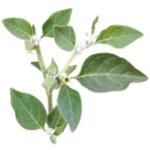 plante-ashwagandha